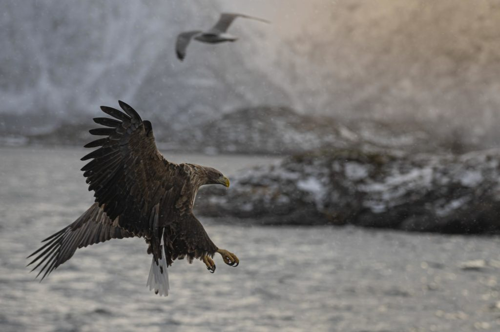 Sea eagle with its claws out in Lofoten