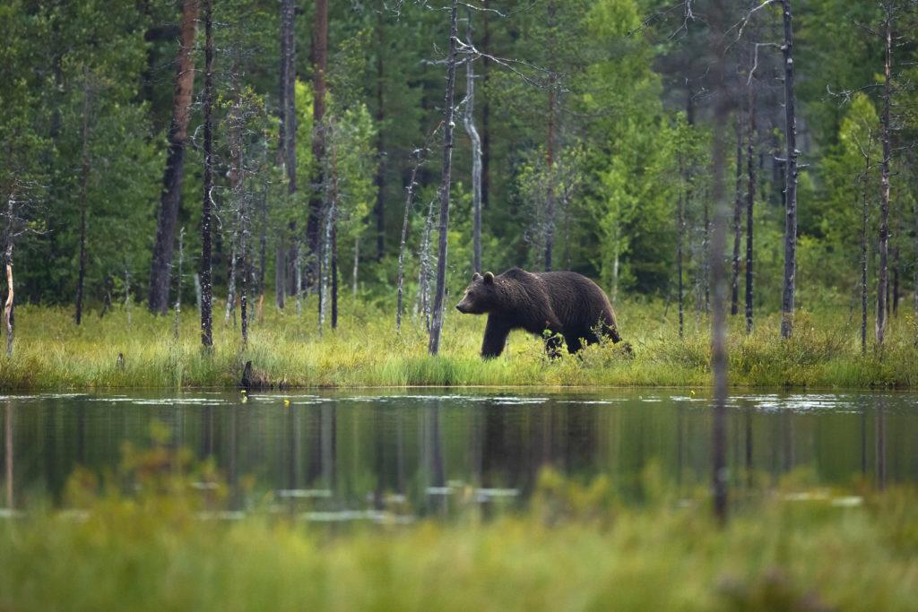 Stor voksen brunbjørn går i skog