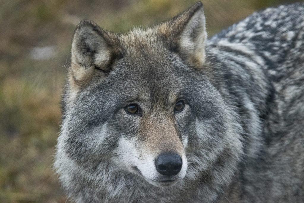 Nærbilde av ulv