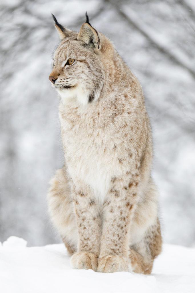 Nærbilde av gaupe som sitter i snø