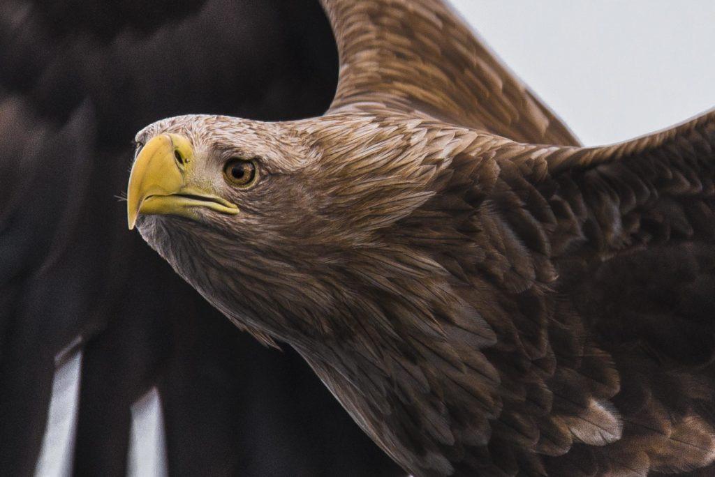 Close-up of sea eagle