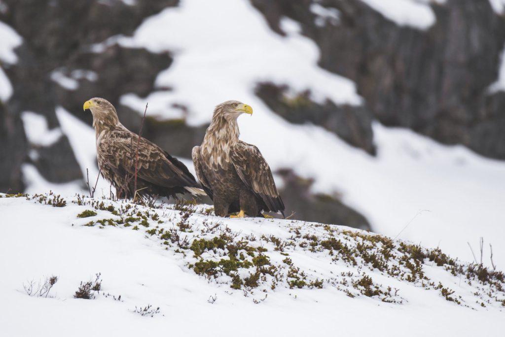 To havørner sitter i snøen i Svolvær, Lofoten